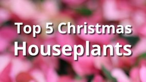 Top 5 Christmas Houseplants