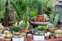 Cactus house plants are easy to grow and vary widely in size and shape. All desert cacti love to bask in the sun. A south-facing window is ideal for cactus house plants. Most of them will flower if given enough sunshine.