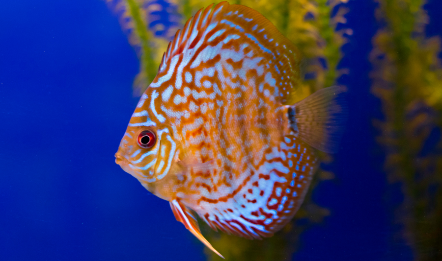 Discus Tropical Fish