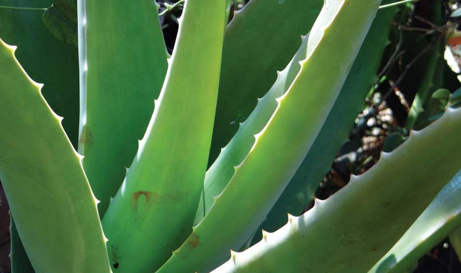House plant of the month – Aloe