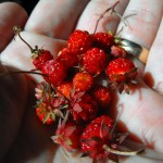 wild strawberry plants,strawberries