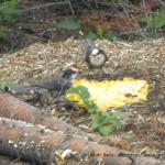 Birds eating forest floor fungi