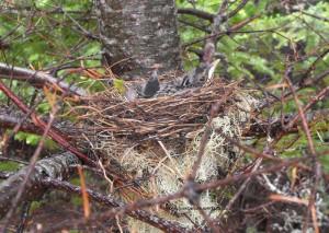 tweeting,atwitter,birds nests