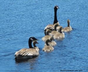 geese,babies,goslings,birds,wildlife