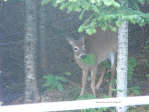 deer,fawns,animals,wildlife