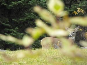 deer,wildlife,Nova Scotia