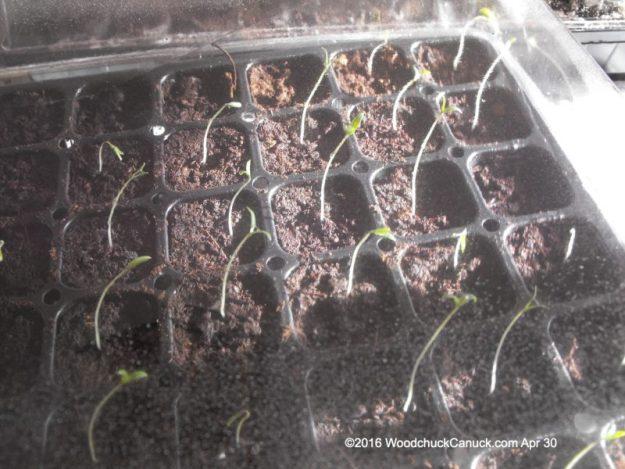 gardening,cherry tomatoes