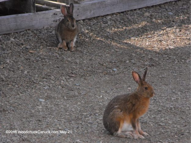 rabbits,wildlife,animals