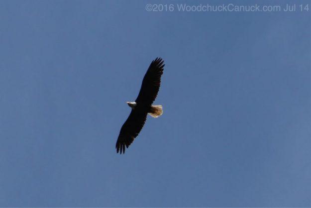eagles,soaring,wildlife,nature