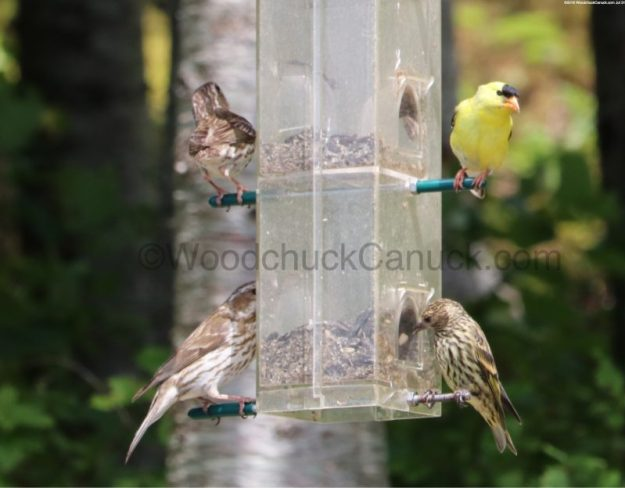 bird feeders,Finches,yellow American Finches