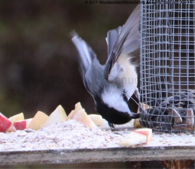 chickadees,birdfeers,sunflower seeds, apples,Nova Scotia