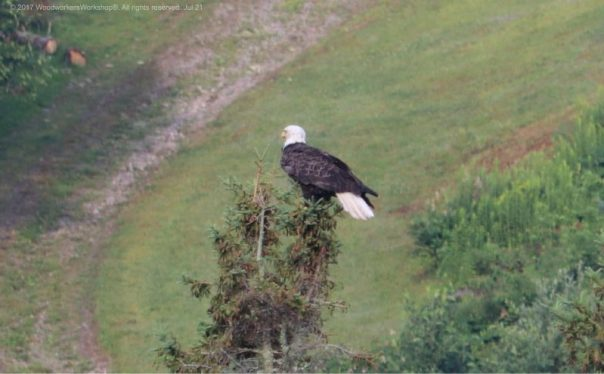 wildlife, animals,American bald eagles, birds of prey