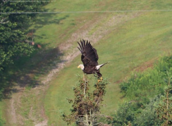 American bald eagles, birds,wildlife,animals