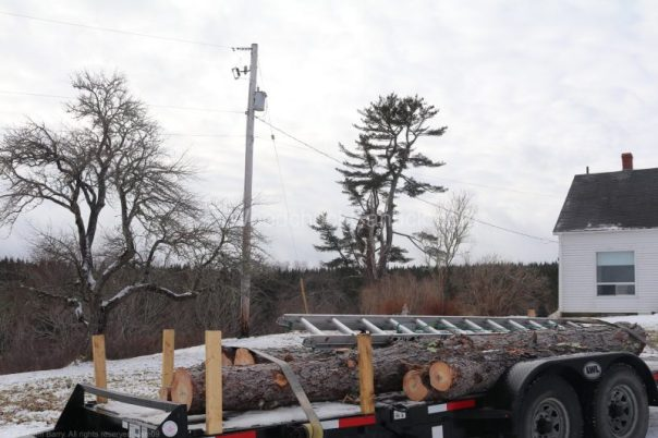 pine tree removal