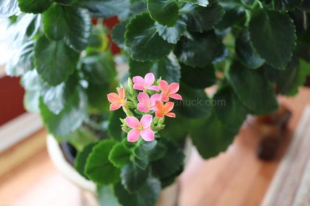 house plant,kalanchoe