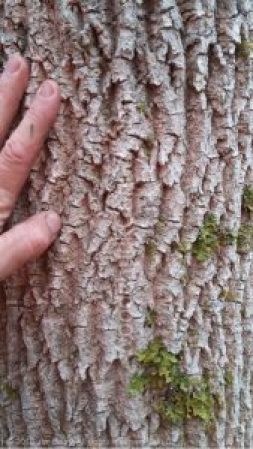 white ash tree bark,Nova Scotia,Antigonish