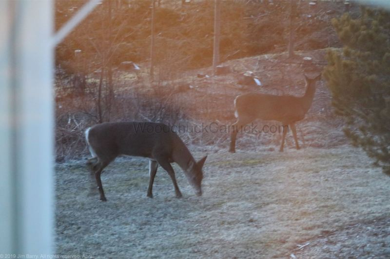 deer, animals, wildlife, Nova Scotia