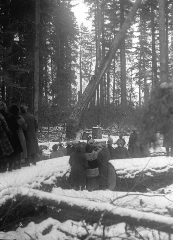 1914 Visitor watching as tree is felled.