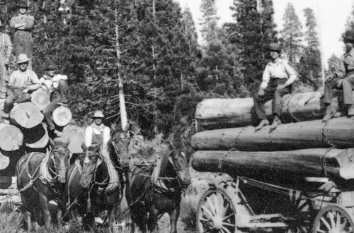 1890s Logging Horses. - close up