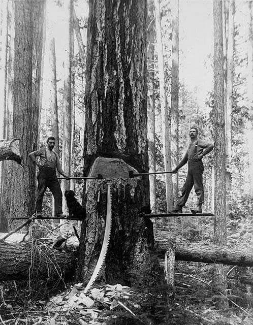 Early woodsmen hinge cutting a tree.