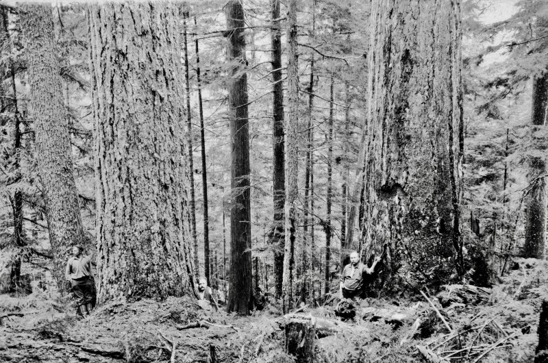 1900s Loggers among trees in thick forest near Vancouver, Canada.