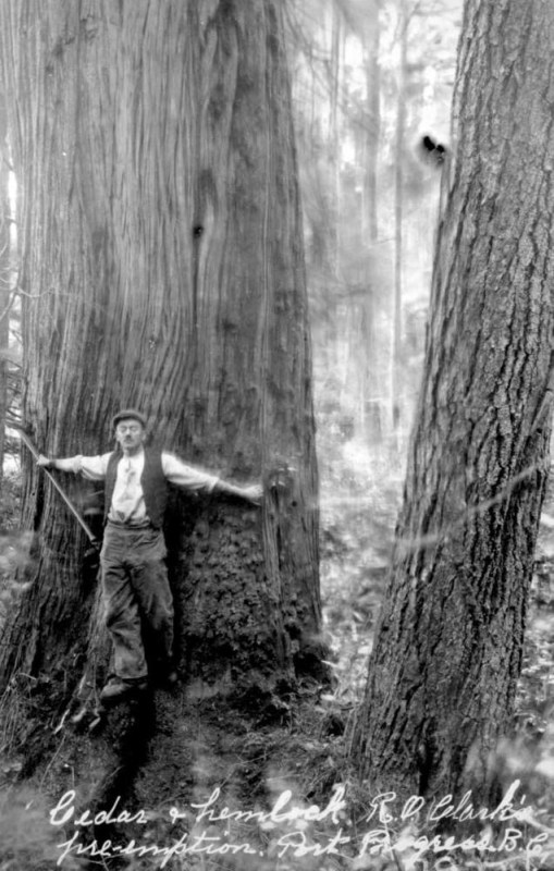 1916 Cedar and Hemlock Trees.