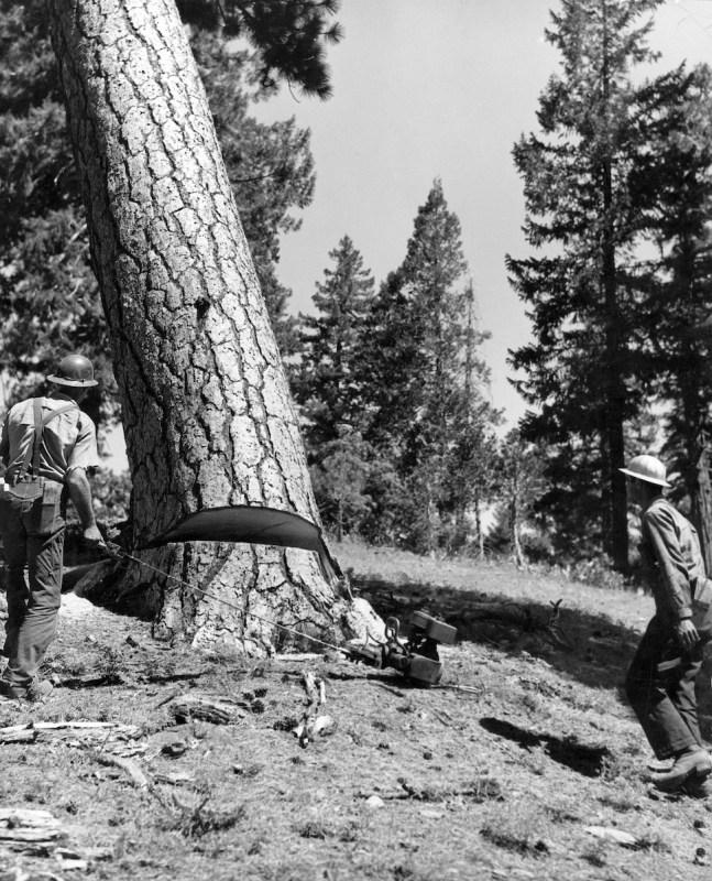 1950 Tree felling.