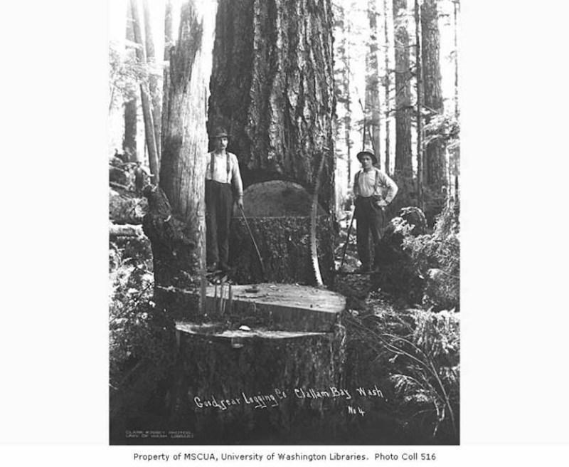 1919 Falling crew, Goodyear Logging Company.