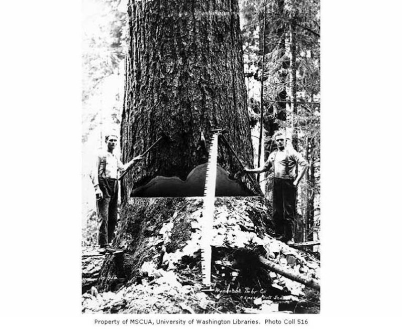 1921 Falling team, Wynooche Timber Company.