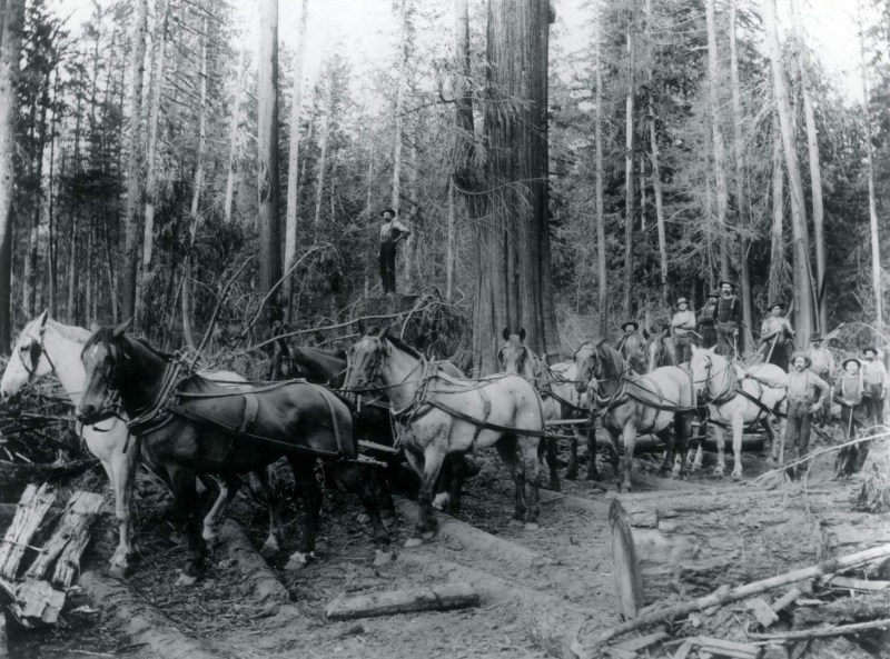 A large team of horses pull timber along a skid road, Washington State.