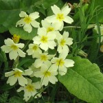 Primroses near the water mill