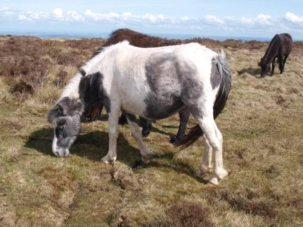 The commonest large mammal on the ridge