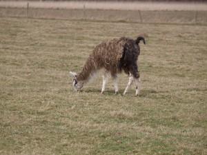 Mere Hall alpaca