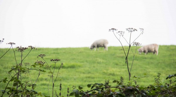 field with 2 sheep in the distance and wildflowers in the foreground