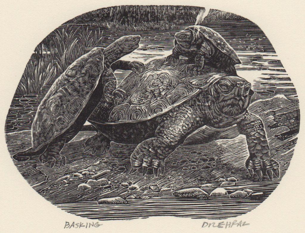 Tony Drehfal's Basking Turtles in August
