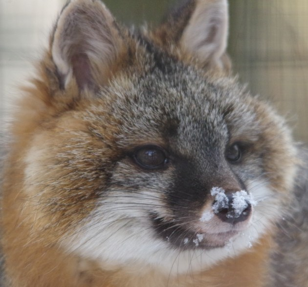 Baron, Gray Fox; photo by Steve Wasson