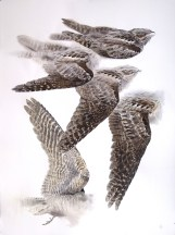 Studies of a Dead Nightjar