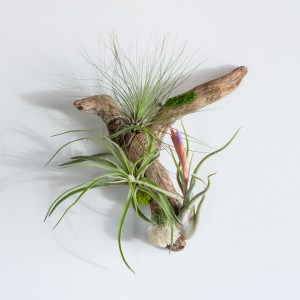 Air plant driftwood hanging