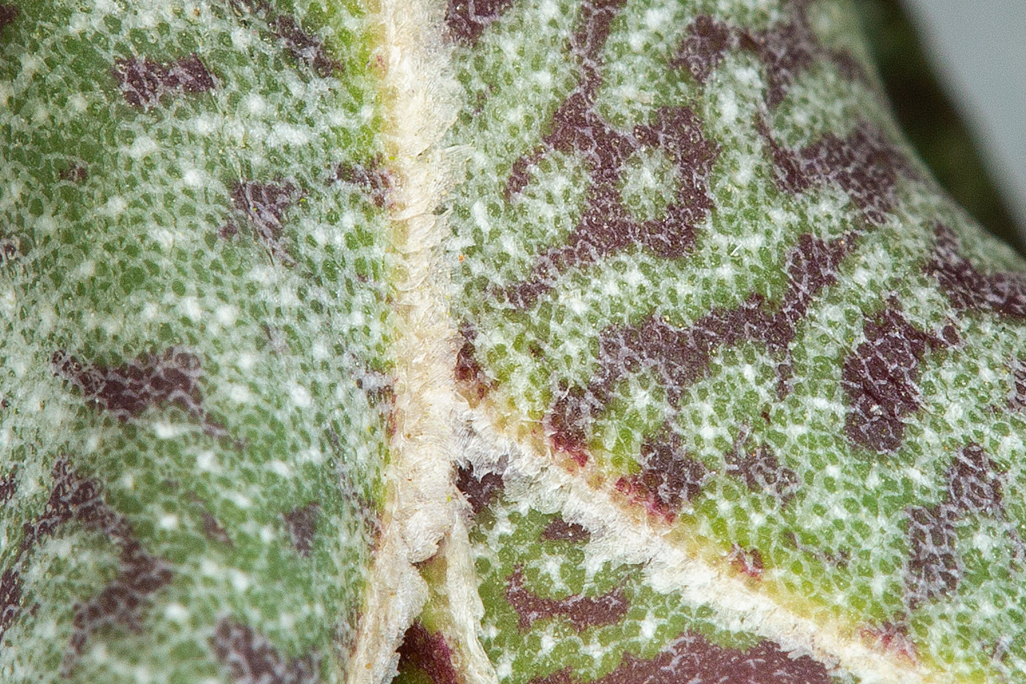 t-butzii-trichomes-01