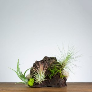 air plant shelf display