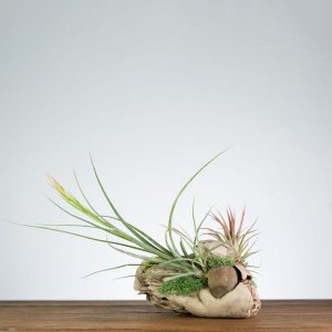 shelf top driftwood air plant display