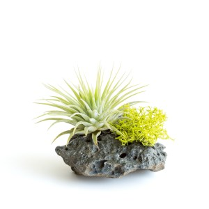 Lava Rock With Ionantha