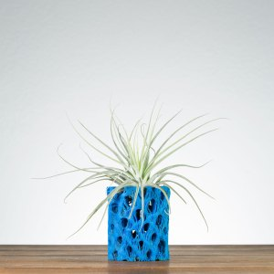 Blue Cholla Air Plant Holder