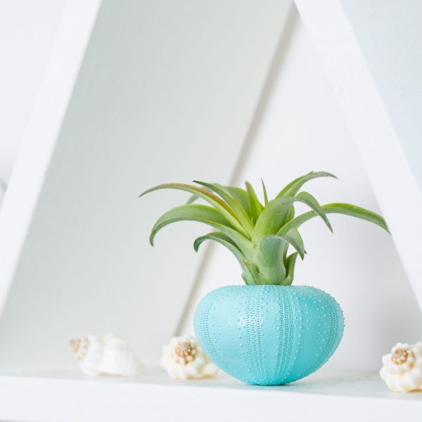 Blue Urchin Air Plant Display