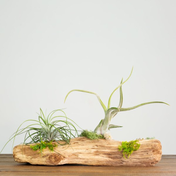 Table Top Air Plant Display
