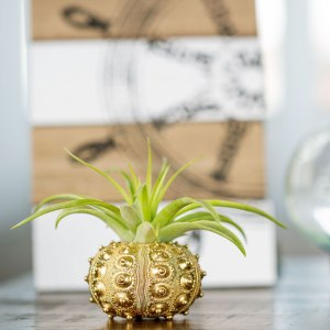 Gold Sputnik Urchin Air Plant Display