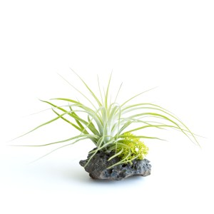 Lava Rock With Stricta