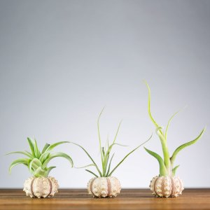 Set of 3 Mini Urchin Air Plant Displays
