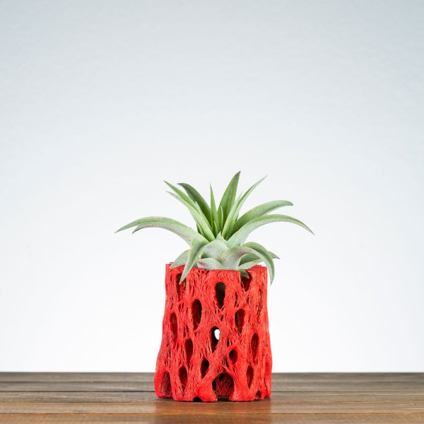 Red Cholla Air Plant Holder