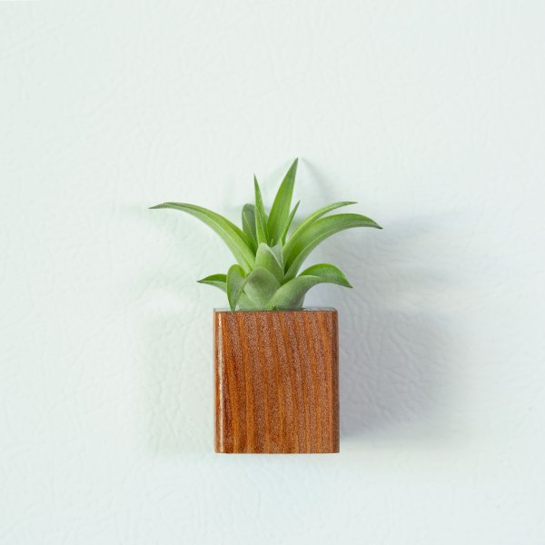Redwood Air Plant Magnet